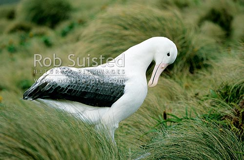 NZ native Southern Royal albatross (Diomedea e. epomophora) amongst tussock, Campbell Island, NZ Sub Antarctic District, NZ Sub Antarctic Region, New Zealand (NZ) stock photo.