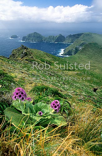 Courrejoilles Peninsula. from Mount (Mt) Azimuth. Pleurophyllum speciosum in front, Campbell Island, NZ Sub Antarctic District, NZ Sub Antarctic Region, New Zealand (NZ) stock photo.