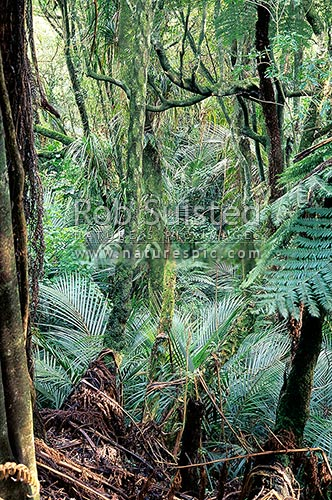 Inside stand of native coastal forest with Nikau Palms (Rhopalostylis sapida) in abundance, Levin, Horowhenua District, Manawatu-Wanganui Region, New Zealand (NZ) stock photo.