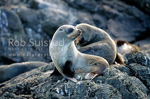 Young New Zealand Fur seal (Arctocephalus forsteri, Otariidae) on rock, Kaikoura, New Zealand (NZ) stock photo.