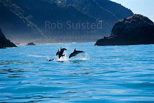 Dusky dolphins (Lagenorhynchus obscurus). Barney's rock behind, Kaikoura, Kaikoura District, Canterbury Region, New Zealand (NZ) stock photo.