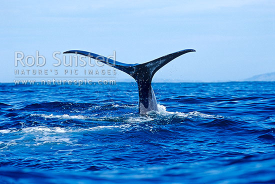 Sperm whale (Physeter macrocephalus) tail fluke as it dives, Kaikoura, Kaikoura District, Canterbury Region, New Zealand (NZ) stock photo.