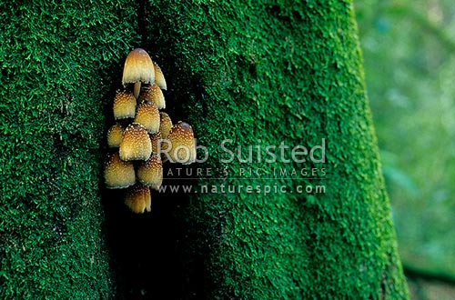 Glistening Inkcap Toadstool (Coprinus micaceus) on Tawa tree, Mangaweka, New Zealand (NZ) stock photo.