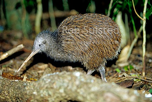 North Island Brown Kiwi bird (Apteryx australis mantelli), Northland, New Zealand (NZ) stock photo.