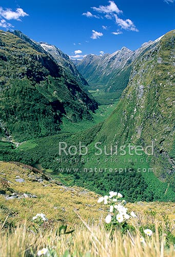 Mount (Mt) Cook Lilies (Ranunculus lyalli) on the Milford Track -Mackinnon Pass. U-shaped valley, Fiordland National Park, Southland District, Southland Region, New Zealand (NZ) stock photo.