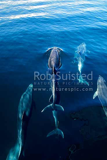 Bottlenose dolphins (Tursiops truncatus), Bay of Islands, New Zealand (NZ) stock photo.