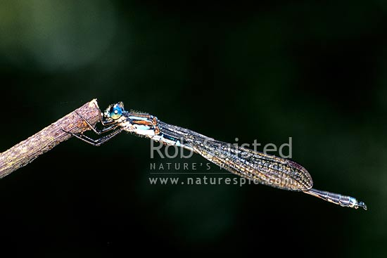 The native Blue Damselfly (Austrolestes colensonis) on a twig, South Westland, New Zealand (NZ) stock photo.