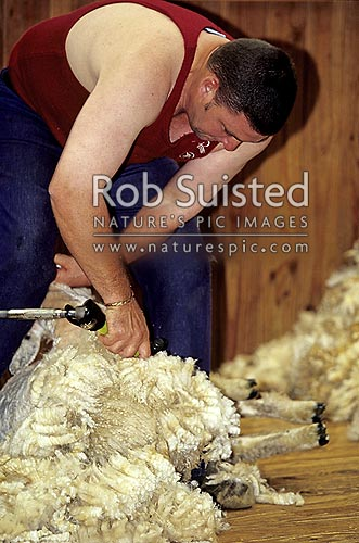 Sheep shearing, New Zealand (NZ) stock photo.