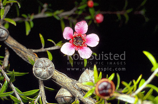 Manuka Flowers ( Leptospermum scoparium) and seed capsules - New Zealand ti tea tree, New Zealand (NZ) stock photo.