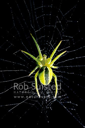 Native Green Orbweb spider (Colaranea viriditas) on silk web, New Zealand (NZ) stock photo.