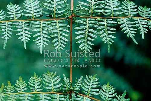 Close up of Bracken fern fronds (Pteridium esculentum), New Zealand (NZ) stock photo.