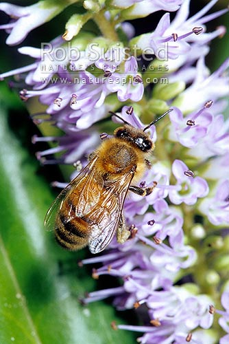 Honey bee (Apis mellifera) pollinating native Hebe flowers, New Zealand (NZ) stock photo.