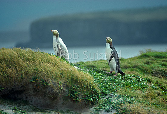 Leucistic Yellow-eyed penguin (Megadyptes antipodes) beside a normal coloured penguin, Sandy bay grass sward, Enderby Island, Auckland Islands, NZ Sub Antarctic District, NZ Sub Antarctic Region, New Zealand (NZ) stock photo.