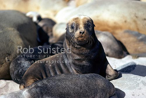 Hooker's Sea lion (Phocartos hookeri) pup close up, amongst others, Enderby Island, Auckland Islands, NZ Sub Antarctic District, NZ Sub Antarctic Region, New Zealand (NZ) stock photo.