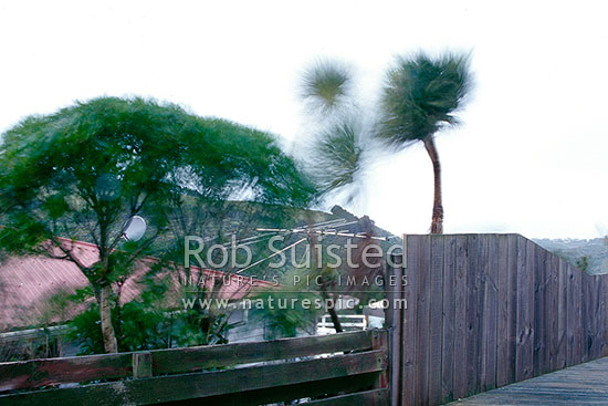 Cabbage trees (Cordyline australis) blowing in a strong wind / gale. Wellington Southerly wind, extreme weather, Wellington, Wellington City District, New Zealand (NZ) stock photo.