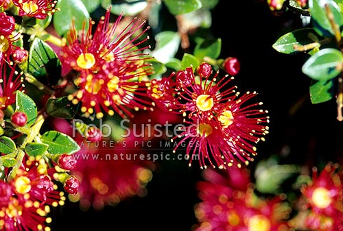 Rata Vine (Metrosideros carminea), New Zealand (NZ) stock photo.
