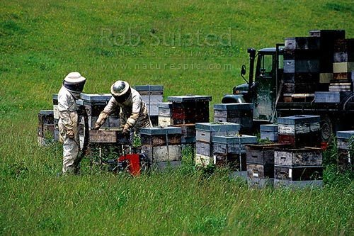 Bee keepers (Apiarists) working on honey beehives in bee suits, Murchison, New Zealand (NZ) stock photo.