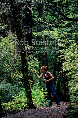 Woman visitor to a forest walking track through beech forest (Nothofagus sp.), Nelson Lakes National Park, New Zealand (NZ) stock photo.