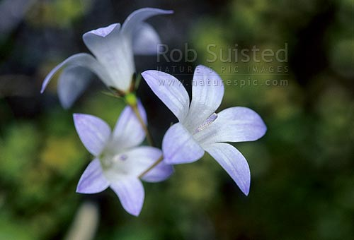 Bluebell flowers (Wahlenbergia sp.), Tongariro National Park, New Zealand (NZ) stock photo.
