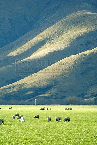 Sheep (Ovis aries) grazing on flat farmland with sun lit hills and gullies behind, Kingston, Queenstown Lakes District, Otago Region, New Zealand (NZ) stock photo.