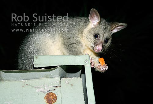 Possum (Trichosurus vulpecula) on roof eating, New Zealand (NZ) stock photo.