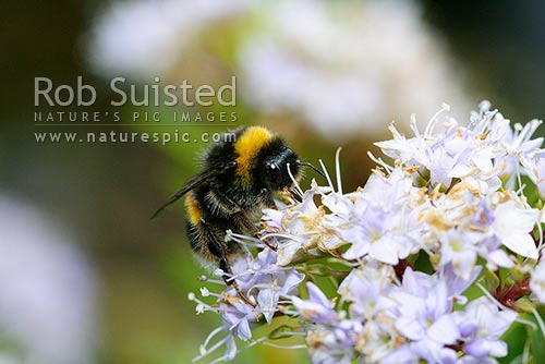 Bumble bee (Bombus sp.) pollinating native Hebe flowers, New Zealand (NZ) stock photo.