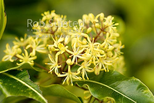 Flowers and leaves of native Lemonwood (Pittosporum eugenioides). Maori name is Tarata. Native, New Zealand (NZ) stock photo.