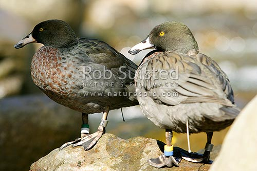 Wild Blue ducks (Hymenolaimus malacorhynchos), Whio, Manganui River. Mount (Mt) Taranaki. Blue duck pair showing transmitters and bands, Stratford, New Zealand (NZ) stock photo.
