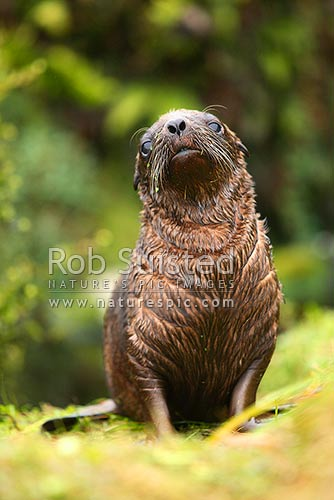 New Zealand Sea lion pup (Phocartos hookeri). Enderby Island. Hooker's Sea lion, Auckland Islands, NZ Sub Antarctic District, NZ Sub Antarctic Region, New Zealand (NZ) stock photo.