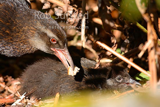 South Island Weka feeding its chick (Gallirallus australis australis). Western Weka, Fiordland, Southland District, Southland Region, New Zealand (NZ) stock photo.