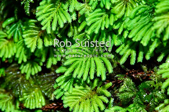 Umbrella moss (Hypopterygium sp), Ruahine Forest Park, New Zealand (NZ) stock photo.