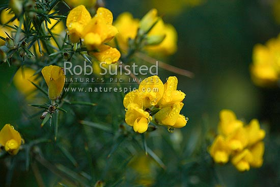 Gorse flowers covered in morning dew or rain water drops (Ulex europaeus), New Zealand (NZ) stock photo.