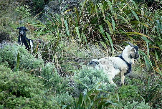 Wild goats in reserve (Capra hircus), New Zealand (NZ) stock photo.
