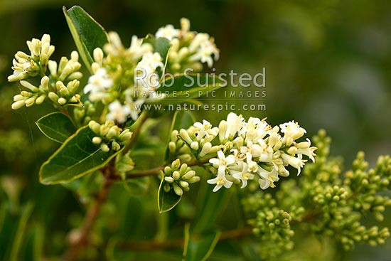 Tree Privet in flower (Ligustrum species) National Surveillance Plant Pest, weed. Evergreen. Allergen, New Zealand (NZ) stock photo.