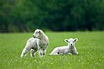 Twin lambs frolicking in grass