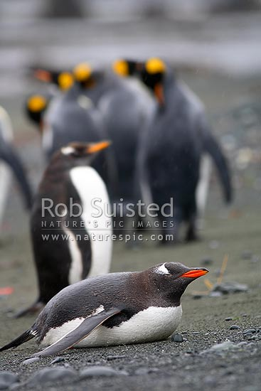 Gentoo Penguins (Pygoscelis papua) amongst King penguins (Aptenodytes patagonicus). Spheniscidae, Macquarie Island, NZ Sub Antarctic District, NZ Sub Antarctic Region, Australia stock photo.