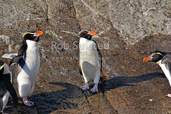 Snares crested penguins on rocks(Eudyptes robustus), The Snares Islands, NZ Sub Antarctic District, NZ Sub Antarctic Region, New Zealand (NZ) stock photo.