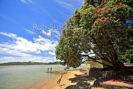 Child playing and swinging on rope from flowering Pohutukawa tree (Metrosideros excelsa) over the foreshore at Rawene, Hokianga Harbour, Rawene, Hokianga, Far North District, Northland Region, New Zealand (NZ) stock photo.