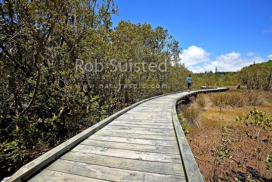 Rawene Mangrove Walkway and boardwalk through mangrove forest (Avicennia marina var. australasica) on the foreshore of the Hokianga Harbour, Rawene, Hokianga, Far North District, Northland Region, New Zealand (NZ) stock photo.