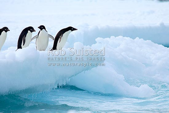 Adelie penguins about to jump from fast ice into the sea (Pygoscelis adeliae). Group of penguins, Ross Island, Antarctica stock photo.