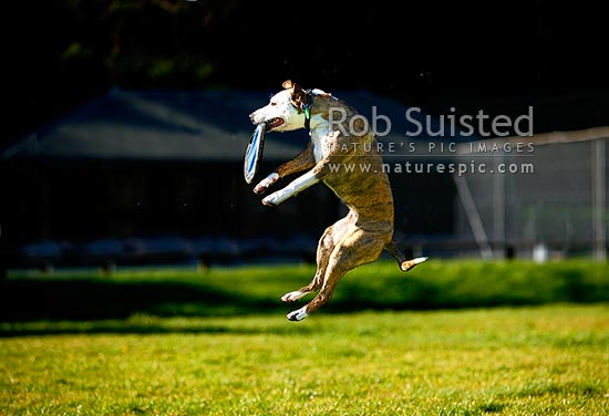 A dog playing and catching a flying disc or frisbee in the air during exercise on a sunny grassy field, New Zealand (NZ) stock photo.