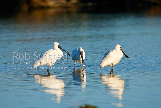 Flock of Royal Spoonbills (Platalea regia - Threskiornithidae), birds wading in wetland estuary, New Zealand (NZ) stock photo.