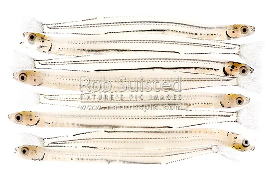 Whitebait, juvenile or larval form of the inanga or adult whitebait fish returning from the sea to rivers. NZ delicacy (native galaxid Inanga species Galaxis maculatus etc). 40mm long, New Zealand (NZ) stock photo.