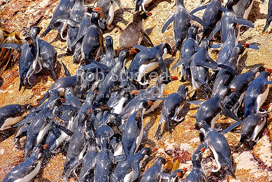 Mass Snares crested penguins scrambling ashore onto rocky shore (Eudyptes robustus), The Snares Islands, NZ Sub Antarctic District, NZ Sub Antarctic Region, New Zealand (NZ) stock photo.