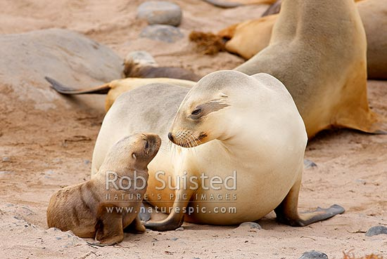 Adult female New Zealand (Hooker's) Sea lion mother sniffing pup for recognition before taking for feeding (Phocartos hookeri) in colony at Sandy Bay, Enderby Island, Auckland Islands, NZ Sub Antarctic District, NZ Sub Antarctic Region, New Zealand (NZ) stock photo.
