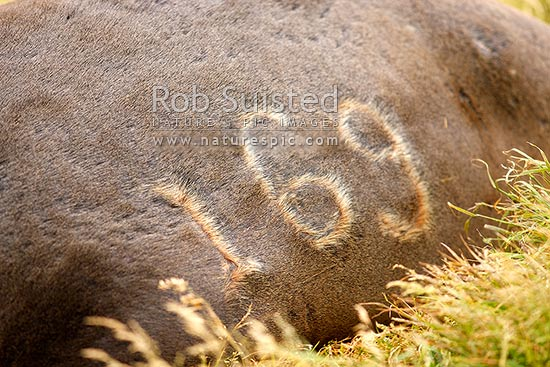 Adult male bull New Zealand Sea lion with hot branded marking for population study research (Hooker's) (Phocartos hookeri) in colony at Sandy Bay, Enderby Island, Auckland Islands, NZ Sub Antarctic District, NZ Sub Antarctic Region, New Zealand (NZ) stock photo.