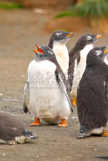 Gentoo Penguin (Pygoscelis papua) breeding colony creche with chicks about to moult into sub-adult plumage, Macquarie Island, NZ Sub Antarctic District, NZ Sub Antarctic Region, Australia stock photo.