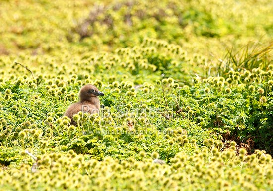 Southern skua chick amongst bidibidi seedheads (Catharacta skua lonnbergi). Brown skua, Subantarctic Skua or Hakoakoa, Enderby Island, Auckland Islands, NZ Sub Antarctic District, NZ Sub Antarctic Region, New Zealand (NZ) stock photo.