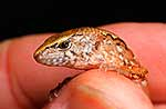 Tiny ornate skink on finger