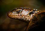 McGregor's skink, V. rare NZ species